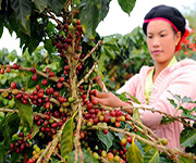 coffee picker in china